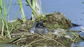 progeny : Bird black tern sits on the nest and sleeps. The nest is located on the marsh hummock. Sunny summer evening.