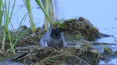 vysedět : Bird black tern sits on the nest and looks around. The nest is located on the marsh hummock. Sunny summer evening.