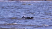 seagull : Young great black-headed gull (Ichthyaetus ichthyaetus) standing in the shallows and washes. Stock Footage