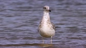 mewa : Young steppe gull (Larus cachinnans) stand in shallow water and rest.