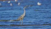 捕食性の : Gray heron bird (Ardea cinerea) walks through shallow water on a sunny summer morning.