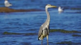 garça : Gray heron bird (Ardea cinerea) walks through shallow water on a sunny summer morning. Close-up. Vídeos
