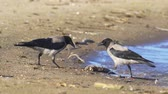 yem : Gray crows (Corvus cornix) in the summer sunny morning. Stok Video