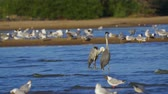 garza : Bird bazaar - gray heron (Ardea cinerea), pallass gull (Larus ichthyaetus), black-headed gull (Larus ridibundus) and Archivo de Video