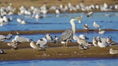 martı : Bird bazaar - gray heron (Ardea cinerea), pallass gull (Larus ichthyaetus), black-headed gull (Larus ridibundus) and Stok Video