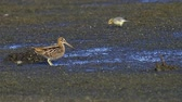 cloudy : Bird - Common Snipe (Gallinago gallinago) walking through the swamp, he eats and cleans its feathers. Stock Footage