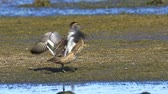 modder : Bird - young Gadwall (Mareca strepera) walking through the swamp, she eats and cleans its feathers.
