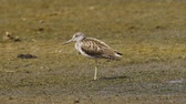 tringa : Bird - common greenshank (Tringa nebularia) stands in a swamp and rests.