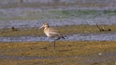 madármegfigzelés : Bird - Black-tailed Godwit (Limosa limosa) stands in a swamp and rests.