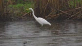garza : Bird - Great White Egret (Ardea alba) walks through the swamp. The bird catches small fish and eat it. A rainy day. Archivo de Video