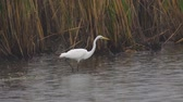 garça : Bird - Great White Egret (Ardea alba) walks through the swamp. The bird catches small fish and eat it. A rainy day. Vídeos