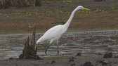 heron : Bird - Great White Egret (Ardea alba) walks through the swamp. The bird catches small fish and eat it. A rainy day. Stock Footage