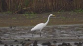 find : Bird - Great White Egret (Ardea alba) walks through the swamp. The bird catches small fish and eat it. A rainy day. Stock Footage