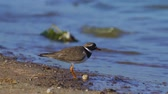 plumagem : A bird - Common Ringed Plover (Charadrius hiaticula) walks along the sandy shore near the water. Sunny summer morning.