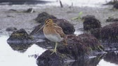 modder : Bird - Common Snipe (Gallinago gallinago) standing on a bump in a swamp. Stockvideo