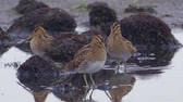 modder : Flock of birds - Common Snipe (Gallinago gallinago) walk through the swamp among the bumps.