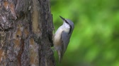madármegfigzelés : Bird - Eurasian Nuthatch (Sitta europaea) creeping along the trunk of a pine tree. Stock mozgókép