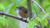 muscicapidae : Bird - Common Redstart (Phoenicurus phoenicurus) sitting on a branch of a bush. Stock Footage
