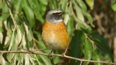 muscicapidae : Bird - male Common Redstart (Phoenicurus phoenicurus) sitting on a branch of a tree. Close-up.