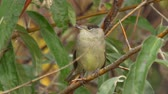 plumagem : Bird - Eurasian Blackcap (Sylvia atricapilla) sitting on a branch of a tree. Close-up.