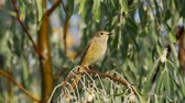 muscicapidae : Bird - female Common Redstart (Phoenicurus phoenicurus) sitting on a branch of a tree. Close-up. Stock Footage