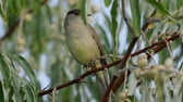 blackcap : Bird - Eurasian Blackcap (Sylvia atricapilla) sitting on a branch of a tree. Close-up.