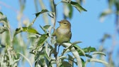 Bird - Willow Warbler (Phylloscopus trochilus) sitting on a branch of a tree. Close-up.