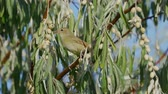 madármegfigzelés : Bird - Garden Warbler (Sylvia borin) sits on a branch of a bush and eats wild berries. Stock mozgókép