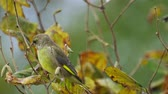 Bird - European Greenfinch (Chloris chloris) sits on a branch of a bush and eats the buds of a tree. Close-up.