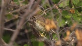 A bird - Song Thrush (Turdus philomelos) sits and hides in the bushes.
