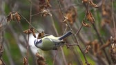 baştankara : Bird - Eurasian Blue Tit (Cyanistes caeruleus) jumping on branches and looking for food. Close-up.