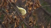 Bird - Willow Warbler (Phylloscopus trochilus) quickly jumps on tree branches. Close-up.