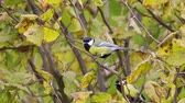 A bird - Great Tit (Parus major) sitting in a bush. Wideo