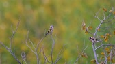 Birds - European Goldfinches (Carduelis carduelis) sitting on tops and resting. Wideo