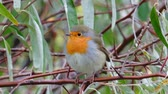 roodborstje : Bird - European Robin (Erithacus rubecula) sitting on a branch of a bush. Close-up. Stockvideo