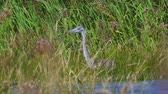 waterbirds : Gray heron bird (Ardea cinerea) hiding in the thicket of reeds on a sunny summer day. Stock Footage