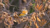 muscicapidae : Bird - Common Redstart (Phoenicurus phoenicurus) sitting on a branch of a tree. Close-up. Stock Footage