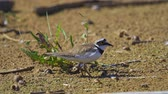 piume : Bird - Little Ringed Plover (Charadrius dubius) walks along the sandy shore. Sunny summer morning. Filmati Stock