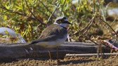 patas : Bird - Little Ringed Plover (Charadrius dubius) walks along the sandy shore. Sunny summer morning. Closeup.