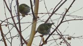 semi : Birds - Eurasian Siskins (Spinus spinus) sitting on a branch of a tree and eats the seeds of a birch tree.