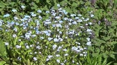 Myosotis (forget-me-not)