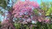 Cercis tree in blossom, Saint Constantine and Helen resort, Bulgaria Стоковые видеозаписи