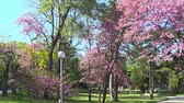 Cercis trees, park of Saint Constantine and Helen resort, Bulgaria Стоковые видеозаписи