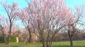Almond tree in blossom Стоковые видеозаписи