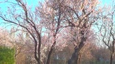 Cercis trees in blossom, recorded on Saint Constantine and Helen resort Стоковые видеозаписи