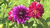 carmesim : Dahlias of different colours