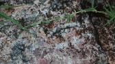 sujo : Ants crawling on rock and grass