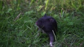 chomik : Small baby pet hamster exploring world and crawling around outside in the grass. Wideo
