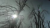 scene : Low angle view, dolly shot, silhouettes of demolished trees after the storm.