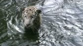 bengala : White Tiger Swimming in A River
